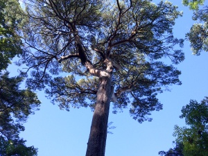 pinetree devon