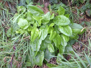 sheep sorrel wild foraging